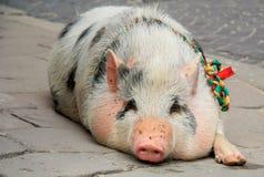 O porco na rua da cidade Imagem de Stock Royalty Free