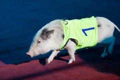 O porco pequeno bonito corre através da barreira no circo Imagem de Stock Royalty Free