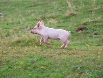 O porco pequeno funciona rapidamente fotos de stock royalty free