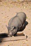 O porco potenciômetro-inchado vietnamiano bebe a água imagem de stock