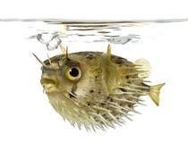 o porcupinefish da Longo-espinha igualmente sabe como o balloo spiny imagens de stock