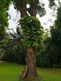 O pothos gigante dourado é as trepadeiras que são plantadas em grande t imagens de stock