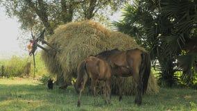 O potro do cavalo mama, carro carregado com o feno, cavalo, video estoque