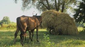 O potro do cavalo mama, carro carregado com o feno, cavalo, filme