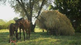 O potro do cavalo mama, carro carregado com o feno, cavalo, vídeos de arquivo