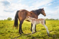 O potro recém-nascido suga o leite de sua mãe Imagens de Stock Royalty Free