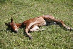 O potro velho de poucas semanas descansa no campo verde Fotos de Stock Royalty Free