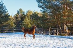 O potro vermelho corre o galope ao longo da parada-terra Dia de inverno ensolarado fotos de stock