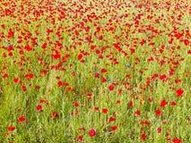 O prado completamente da papoila floresce como o fundo da natureza imagens de stock