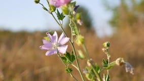 O prado cor-de-rosa floresce o balanço no vento, temporada de verão do outono video estoque