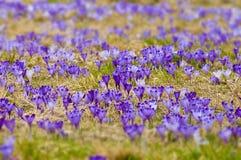 O prado da mola com lotes do açafrão floresce na flor completa Foto de Stock Royalty Free