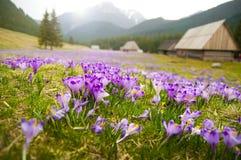 O prado da mola nas montanhas completamente do açafrão floresce na flor Imagens de Stock
