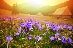O prado da mola nas montanhas completamente do açafrão floresce na flor na SU Fotografia de Stock Royalty Free