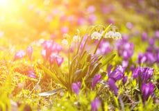 O prado de uma mola floresce, branco e roxo Fotos de Stock Royalty Free