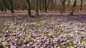 O prado do açafrão floresce na primavera a floresta video estoque