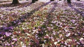 O prado do açafrão floresce na primavera a floresta vídeos de arquivo