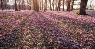 O prado do açafrão floresce na primavera a floresta Fotografia de Stock