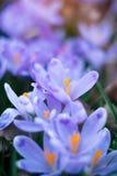O prado do açafrão floresce na primavera a floresta Imagem de Stock Royalty Free