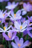 O prado do açafrão floresce na primavera a floresta Imagens de Stock