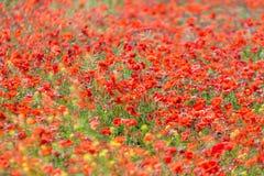 O prado selvagem da papoila floresce vermelho fotos de stock royalty free