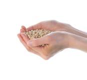 O presente de feijões da soja Imagem de Stock