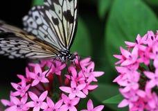 O preto azul com a borboleta branca da listra que senta-se na flor vermelha foto de stock