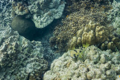 O preto blotched o porcupinefish na ilha de Surin Imagem de Stock