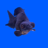 O preto bonito amarra o peixe dourado Imagem de Stock Royalty Free