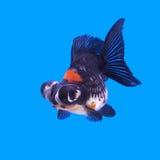 O preto bonito amarra o peixe dourado Fotos de Stock Royalty Free