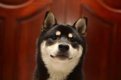 O preto da cor de Shiba Inu e bronzea-se Inu do shiba do cachorrinho Cão 6 meses velho imagem de stock