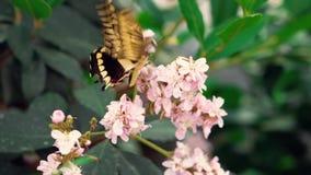 O preto do close-up e a borboleta gigante amarela dos cresphontes de Swallowtail Papilio bebem o néctar e batem as asas no rosa filme