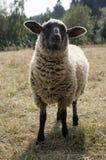 O preto do Suffolk enfrentou os carneiros que pastam no pasto Fotos de Stock