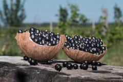 O preto em um shell do coco de uma colheita nova está em um cânhamo no jardim Fotografia de Stock Royalty Free