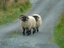 O preto enfrentou carneiros Fotos de Stock Royalty Free