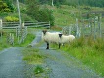 O preto enfrentou carneiros Foto de Stock Royalty Free