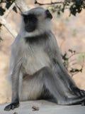 O preto enfrentou o macaco do langur Fotos de Stock