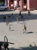 O preto enfrentou a tropa do macaco do langur Imagens de Stock Royalty Free