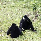 O preto entregou Gibbon Fotografia de Stock Royalty Free
