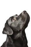 O preto Labrador do cão olha para cima. Fotos de Stock Royalty Free