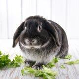O preto macio bonito poda o coelho de coelho Imagens de Stock