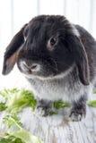 O preto poda o coelho de coelho Fotos de Stock