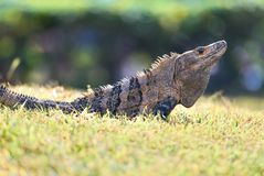 O preto Spiny-atou a iguana Foto de Stock