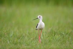 O preto voado do pernas de pau voou o himantopus do pernas de pau/Himantopus Fotografia de Stock