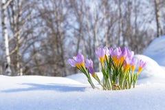 O primeiro açafrão azul floresce, açafrão da mola na neve macia Fotografia de Stock