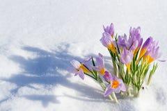 O primeiro açafrão azul floresce, açafrão da mola na neve macia Imagens de Stock