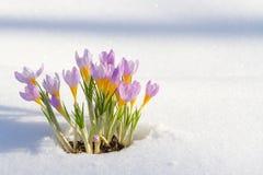O primeiro açafrão azul floresce, açafrão da mola na neve macia Fotografia de Stock Royalty Free