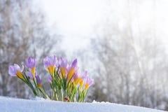 O primeiro açafrão azul floresce, açafrão da mola na neve macia Imagens de Stock Royalty Free