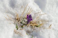 O primeiro crocuse do furple na neve Fotografia de Stock Royalty Free
