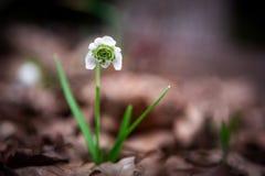 O primeiro snowdrop no fundo das folhas secas Dia de mola fotos de stock royalty free