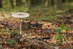 O procera de Macrolepiota, cogumelos cresce nas madeiras Fotografia de Stock Royalty Free
